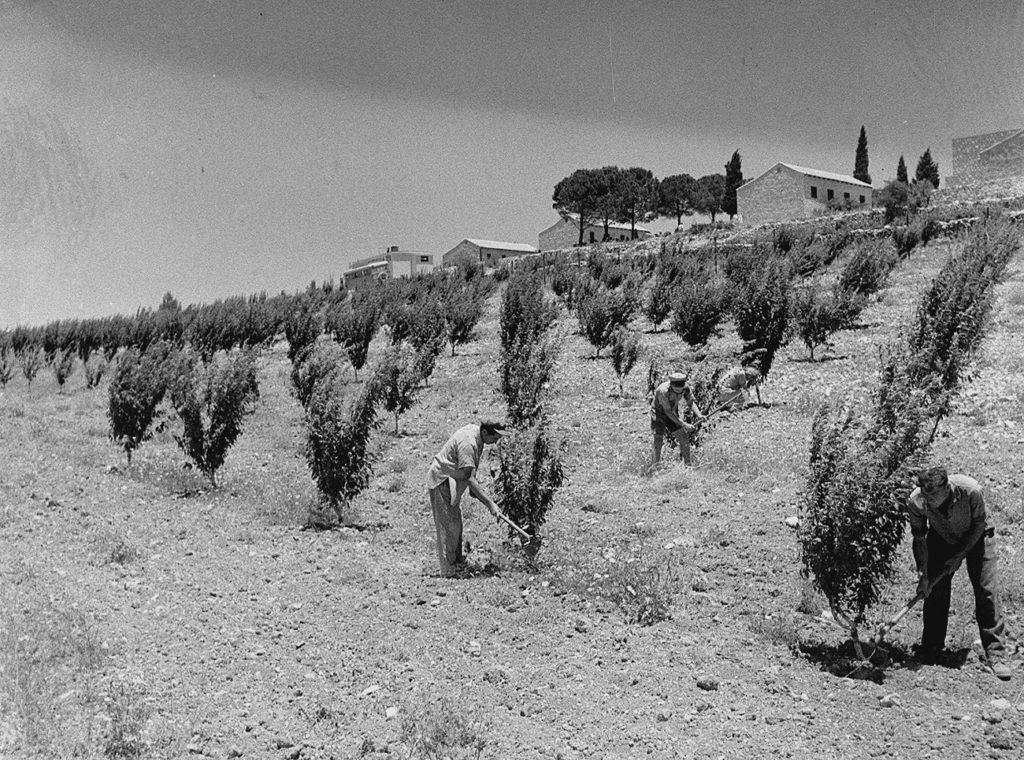 Kfar Ecion gyümölcsösében dolgoznak a kibuclakók, 1947 - fotó: Kluger Zoltán / GPO