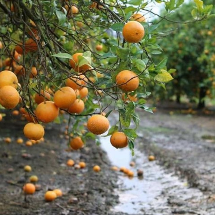 golan narancs keller zoltan