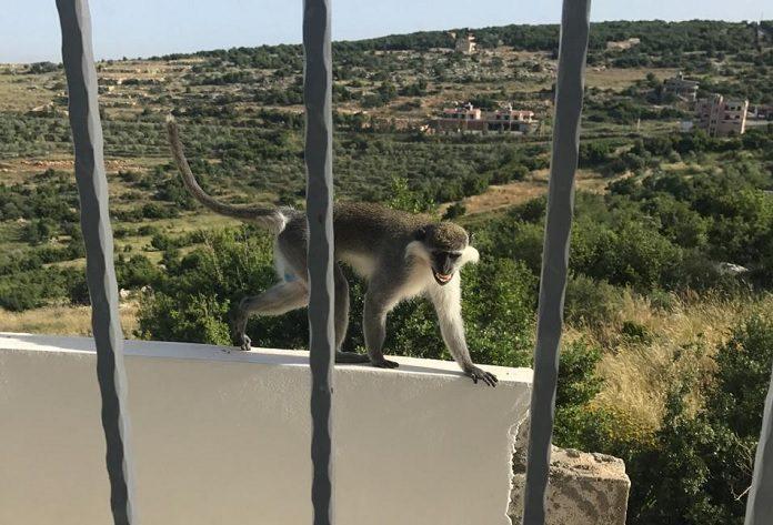 majom a libanoni hataron