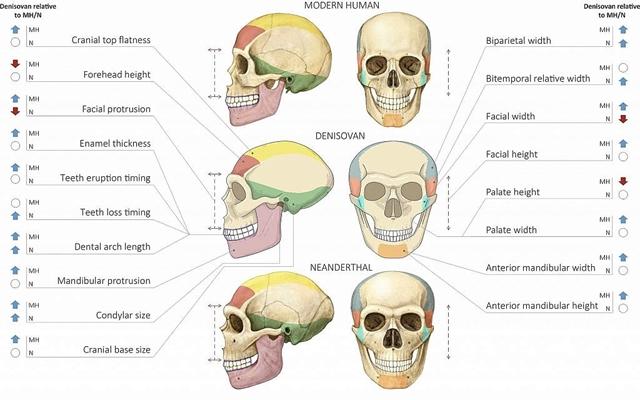 A mai ember, a gyenyiszovai és a neandervölgyi koponyájának anatómiai különbségei - fotó: Maayan Harel / Cell